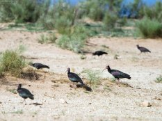 Редчайшие птицы - Лесные ибисы (Northern Bald Ibis). В мире насчитывается не более 100 пар.