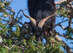 Коза, с удовольствием пожирающая плоды арганового дерева.
