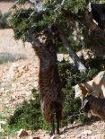Молодой козлёнок тянется к веткам колючей аргании.