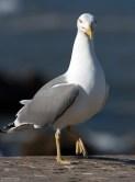 Мега-чайка-мутант.