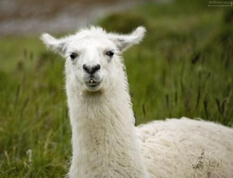 Портрет белой ламы.