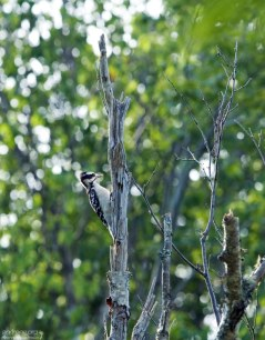 Дятел в заповеднике Petit Manan Wildlife Refuge.