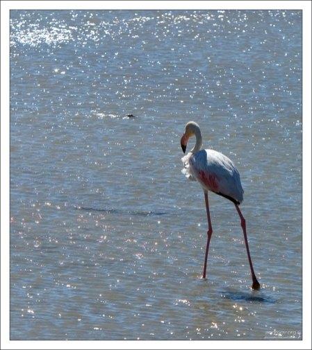 Розовый фламинго в сверкающем водоеме. Camargue Nature Park.