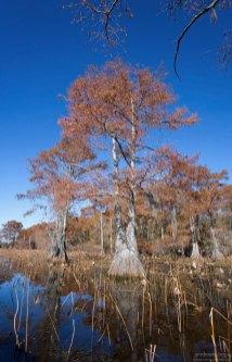 Лысые (болотные) кипарисы (Bald Cypress) готовятся сбрасывать листья.