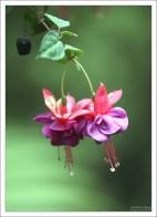 Нежные цветы фуксии. Кинта да Регалейра.