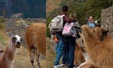 Ламы лезут фотографироваться.