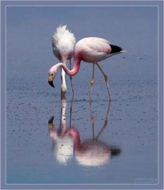 """""""Перекрестились"""". Андские фламинго (Phoenicopterus andinus) копаются в соляной лужице, образовавшейся в лагуне Chaxa."""