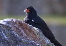 Горная каракара (Phalcoboenus megalopterus) на страже.