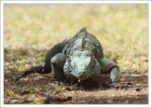 Голубая игуана - эндемик острова.