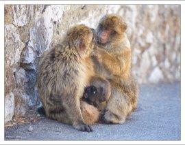 Гибралтарские маготы оказались довольно свирепыми и агрессивными существами.