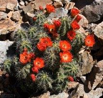Цветущий кактус вида Claret Cup.