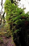Папоротники-приживалки совершенно безвредны для дерева-хозяина. Redwood National Park.