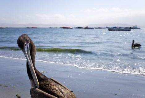 Перуанский пеликан, неожиданно зашедший в кадр.