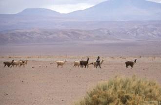 Ламы и козы переходят на другое пастбище.