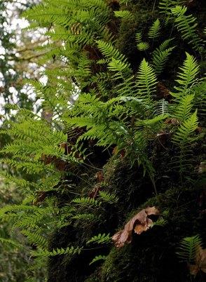 Необычный пушистый из-за папоротников клен. Redwood National Park.