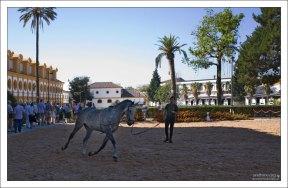 Тренировка чистокровных Андалузских лошадей (Pura Raza Espanola).