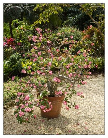 """Адениум толстый (Adenium obesum) на входе в """"The Floral Colour Garden""""."""