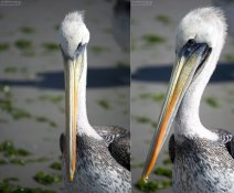 Перуанский пеликан в фас и в профиль.
