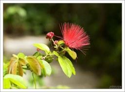 Пушистые цветы Охии Леуа (Metrosideros polymorpha).