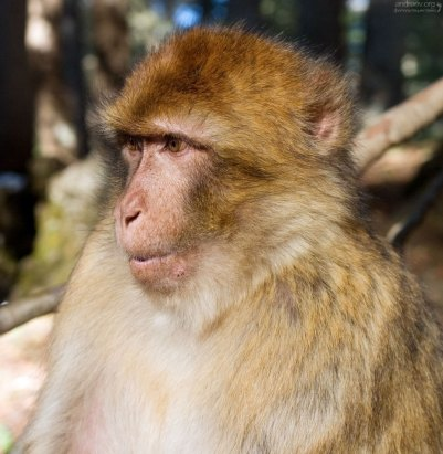 "Самка обезьян вида Barbary Ape - ""варварийская обезьяна"", или ""магот""."