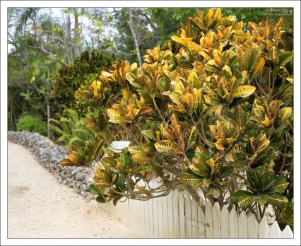 Дерево нони (Morinda citrifolia L.).