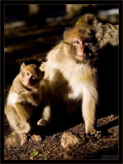 Мама-магот с малышом.