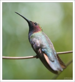 Самка Ямайского манго. Rocklands Bird Sanctuary.