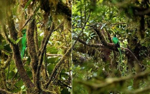 Одна из самых редких в мире птиц - кетцаль (Resplendent Quetzal). Попадая в неволю, кетцаль себя убивает.