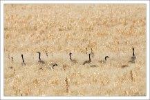 Казарки (Canada Goose) маскируются в траве.