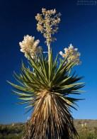 Giant Dagger Yucca (Yucca faxoniana) - гигантская юкка, высотой около 4,5 метров и 2 метра в диаметре.