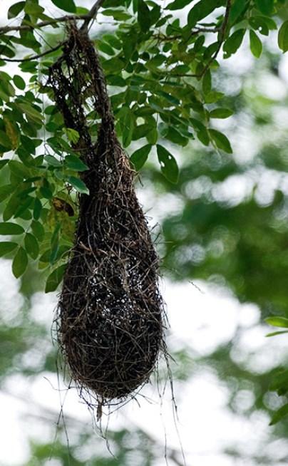 Птичьи гнезда в виде мешочков над дорогой в штате Кампече.
