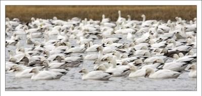 Стая белых гусей и гусей Росса (эндемик США).
