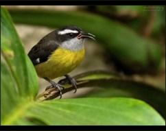 """""""Маленький и злой Бананаквит"""" Крохотная птичка Цветочница-Бананаквит (Bananaquit; Coereba flaveola) - извечный конкурент колибри. Между видами идет непримиримая борьба за обладание наиболее вкусными и сочными бутонами."""