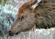 """Самочка """"благородного оленя"""" (Elk deer cow). Национальный парк """"Yellowstone""""."""