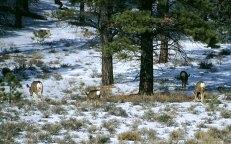 Семейство белохвостых оленей.
