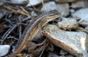 """Prairie Lizard. Тропа """"Guadalupe Peak""""."""