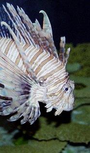 Ядовитая крылатка. Теннесийский аквариум.