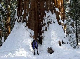 The General Sherman tree - самое большое дерево на земле.