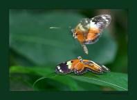 "О бабочках в брачный период... ""The Cockrell Butterfly Center"", Хьюстон, Техас."