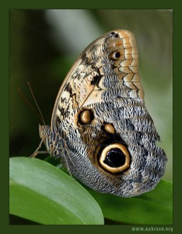 """Owl Butterfly (бабочка-сова) из Южной Америки. """"The Cockrell Butterfly Center"""", Хьюстон."""