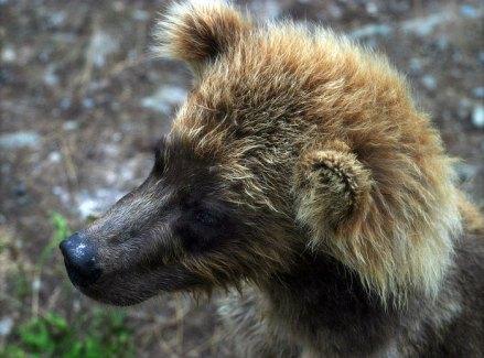 Медвежонок с рыжей гривой.