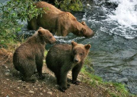 Мама ловит рыбу, а медвежата балуются на берегу.