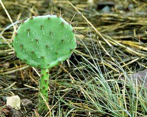Молоденький грушевидный кактус.