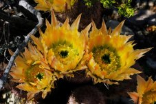 Бутоны радужных кактусов.