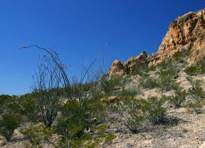 Зацветающие кусты окотилло на тропе Chimneys trail.