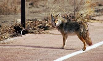 Позирующий койот с роскошным хвостом.