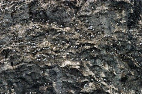 Гнездящиеся птицы на скалистом острове Gull Island.