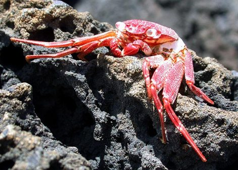 Красный краб на каменном пляже Kapa'a.