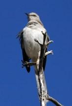 Гордая птица Gray Vireo.