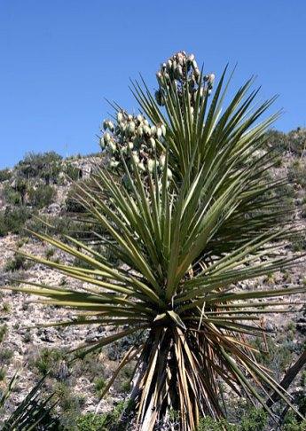 Soaptree Yucca с плодами.